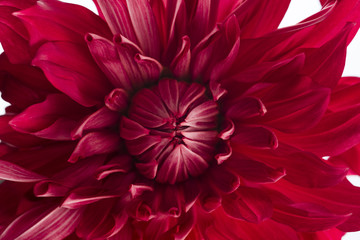 赤いダリアの花 マクロ俯瞰