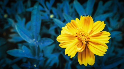 Yellow flower and cyan leaves background