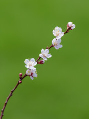 Flowering branch of apricots on a green background