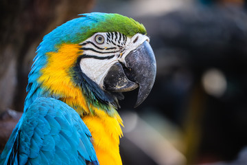 close up portrait of colorful blue and yellow macaw parrot (Ara ararauna) Fotomurales