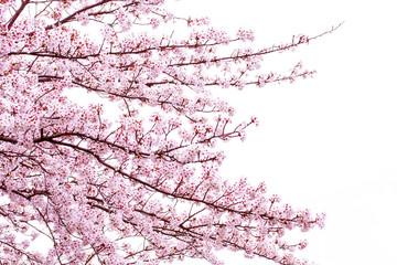 空と満開の桜とコピースペース