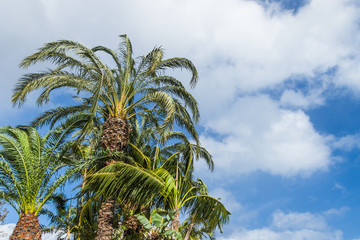 Palm trees growing upwards the blue sky with white clouds on a windy day