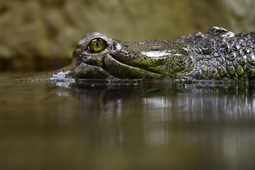Gharial (fish-eating crocodile)