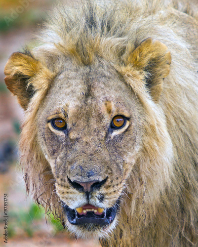 An alert Full Framed Male Lion (Panthera Leo) face looking directly into camera in South Luangwa National Park, Zambia