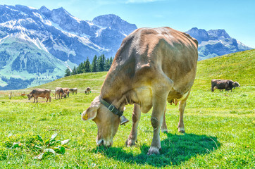 A pasture with large horned animals and a cow bell ringer close-up. Landscape Meadow in the alps of Switzerland with Alpine cows.