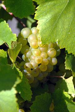 grappe de raisins blanc vers Epernay, Champagne, France