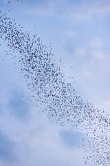 A lot of bats flying out of the cave in the evening to forage