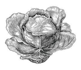 Cabbage hand drawing vintage engraving illustration
