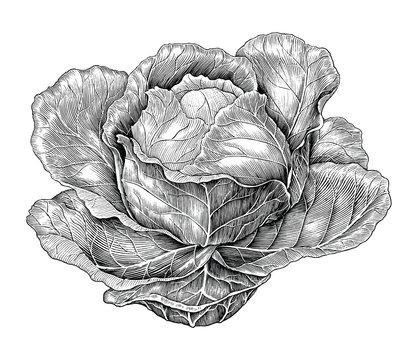 Cabbage hand drawing vintage engraving illustration
