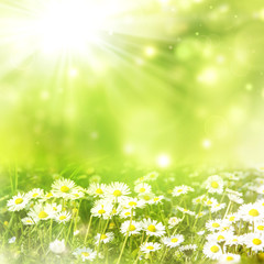 bright natural background with white daisies