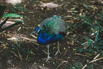 Portrait of beautiful peacock