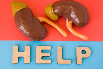 Kidneys with Help word. Anatomical model of kidney and adrenal gland is on red background, below letters that make word Help on blue background. Medical care, diagnosis, treatment for organ