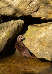 Otter on the river bank