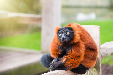 Red ruffed lemur sitting on the fence in Artis Zoo, Amsterdam Wall mural