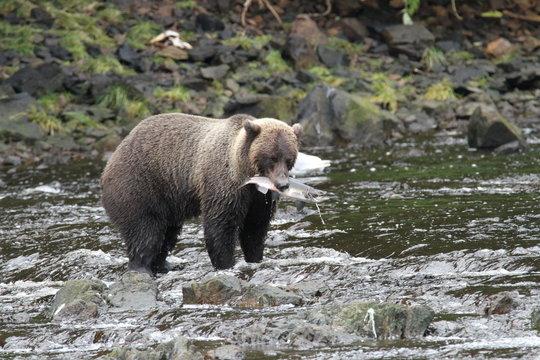 Bears in Alaska