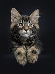 Handsome black tabby Maine Coon cat / kitten laying down isolated on black background