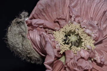 Floral fine art still life detailed color macro flower portrait of a single isolated pastel pink satin/silk poppy opening blossom isolated on black background with detailed texture, surrealistic
