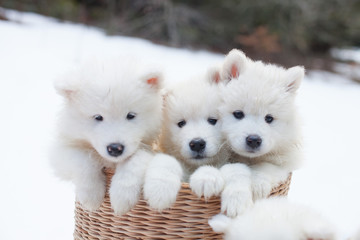 SAMOYEDE PUPPY CHIOT NATURE FORET