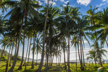 group of palm trees in wild Safari beach in El Nido, Palawan, Philippines
