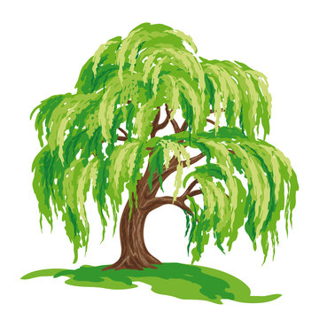Vector drawing of willow tree