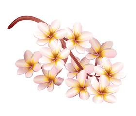 Plumeria flowers. Realistic vector illustration.