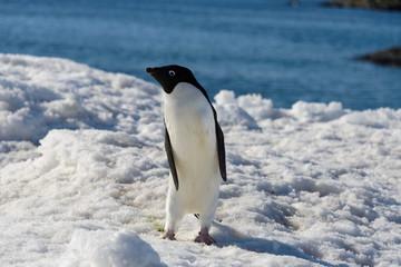 Acrylic Prints Antarctica Adelie penguin on snow