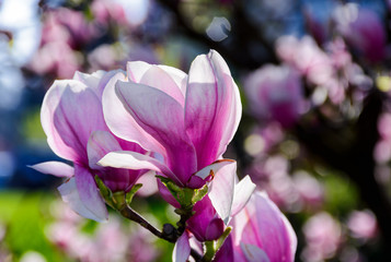 blossom of magnolia tree in springtime. lovely nature background with vivid colours