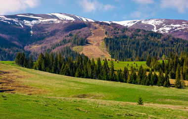 beautiful countryside with snow on mountain top. lovely mountainous landscape with spruce forest in springtime