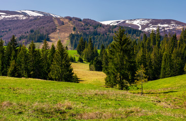 spruce forest on the grassy hills in the valley. beautiful mountainous landscape in springtime