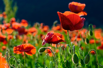 big red blossoming poppy flower in the field. beautiful summer nature background
