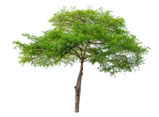 green tree isolated on pure white background . architecture , design and Decoration work .