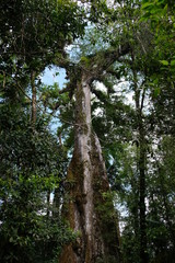 Very high and ancient tree