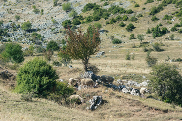 Tuinposter Schapen Sheeps graze on a meadow of mountain at sunset of Greece.