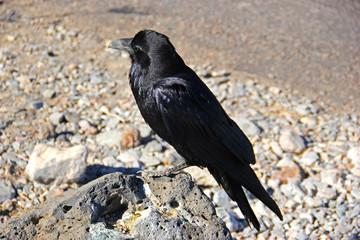 Single black crow