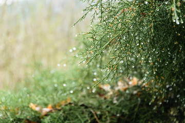Abstract blurry background of green pine with water drops, cold weather concept