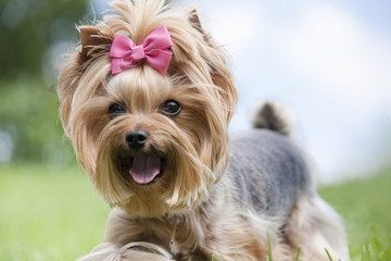 Yorkshire terrier in the grass running and playing in the summer outdoors