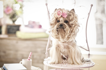 Yorkshire Terrier Dog Day at the Salon