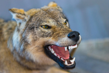 The wolf grins his teeth. The mouth of a wolf. Stuffed wolf. Taxidermy. Making a stuffed animal.