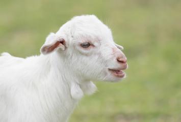 沖縄の山羊