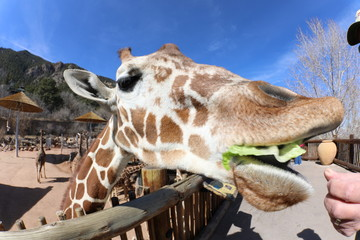 Funny close-up photos of giraffes at the Zoo