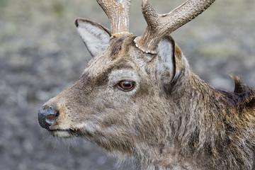 Portrait of Sika Deer (Cervus nippon dybowskii)