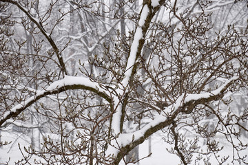 trees in a snowstorm, Amish Country, Lancaster County, Pennsylvania, USA