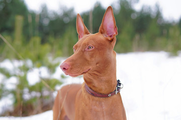 The portrait of a Pharaoh hound wearing a leather collar and posing outdoors in winter
