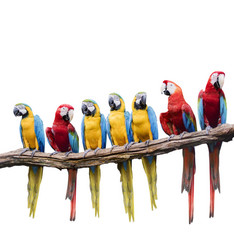 flock of red and blue yellow macaw purching on dry tree branch isolated white background