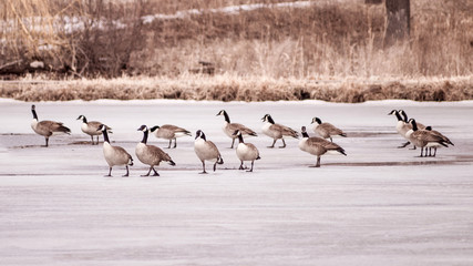 A group of geese are walking on thin ice at early spring of Minnesota