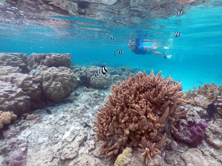 Woman snorkelling above healthy corals with tropical fish in Rarotonga Cook Islands