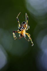 Image of an opadometa fastigata spiders(Pear-Shaped Leucauge) on the spider web. Insect. Animal
