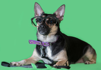 Funny dog mongrel with glasses on green background