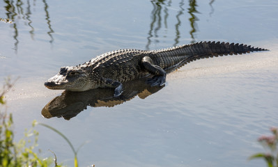 baby alligator is not shy and crawls close to you while reflecting