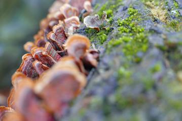Nahaufnahme von Schmetterlings-Tramete